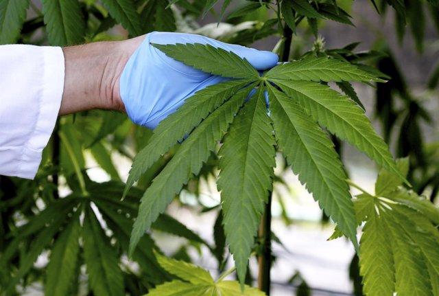 Un asistente de proudcción isnpeciiona una planta de cannabis