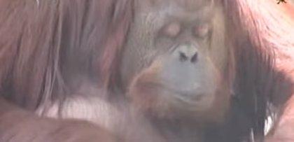 Los derechos de la orangutana Sandra son juzgados en una audiencia argentina