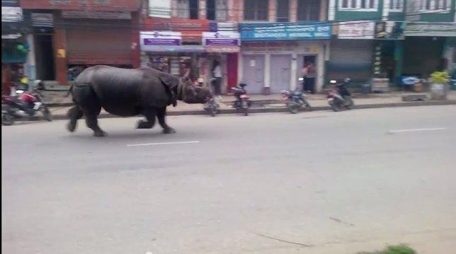 Rinoceronte siembra el pánico en Nepal