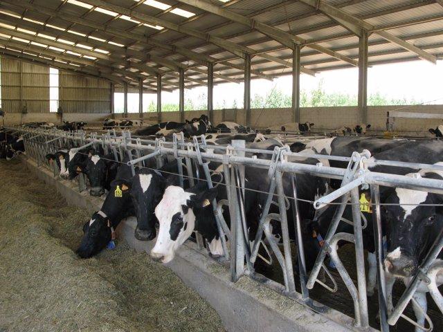 Unas vacas comen en una explotación ganadera