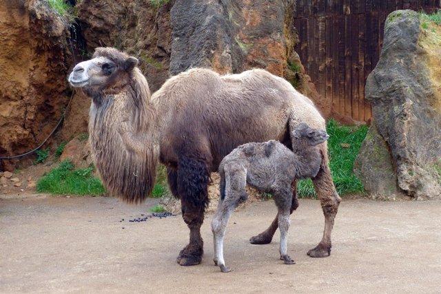 Camello bactriano nacido en Cabárceno