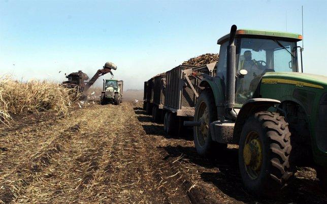 Campos de caña de azúcar