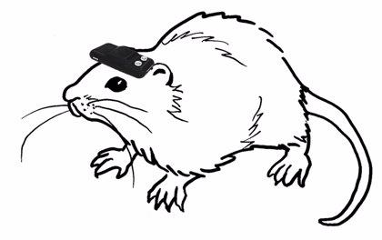 Una brújula geomagnética hace posible que ratas ciegas se puedan orientar