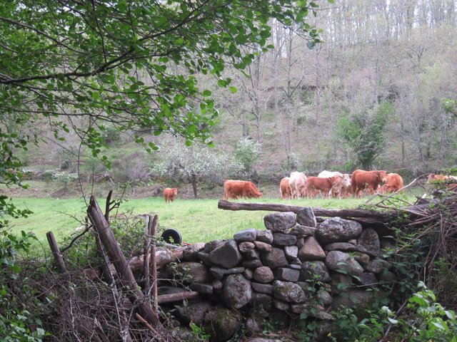 Vaca, vacas. Ganado vacuno. Rebaño. Carne. Pastos.
