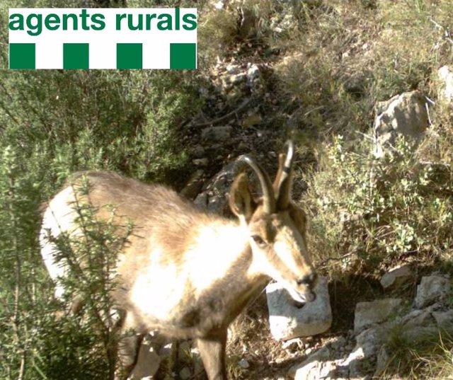 Detectan ejemplares de rebecos en Camarasa (Lleida)