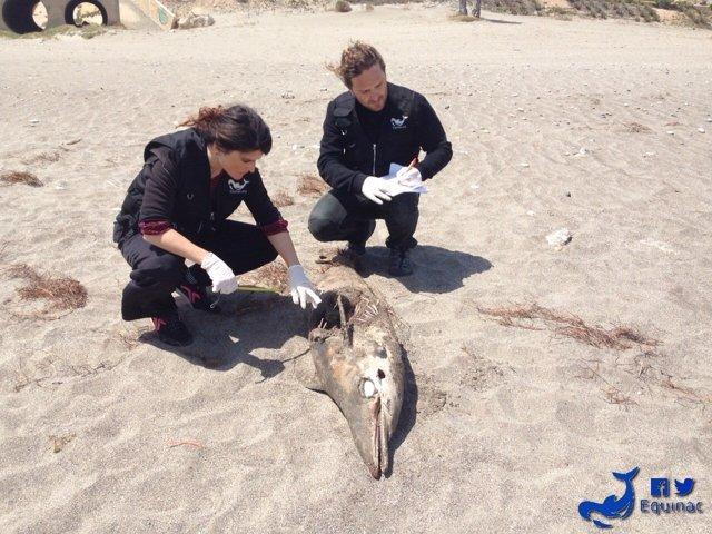Delfín listado hembra muerto en la playa de Carboneras