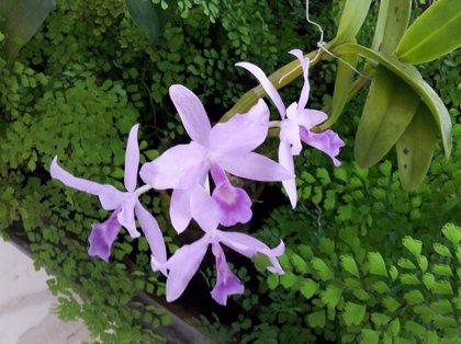 La orquídea, flor de mayo y símbolo nacional de Venezuela