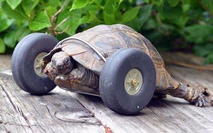 Nunca es tarde: Una tortuga de 90 años puede caminar gracias a estas prótesis