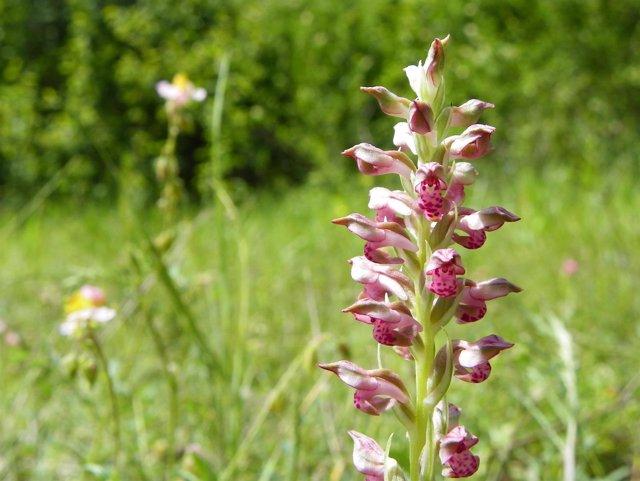 Orquídea Pirenaica