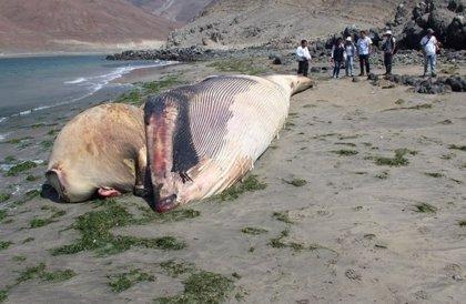 Hallan una ballena jorobada en la costa de Perú