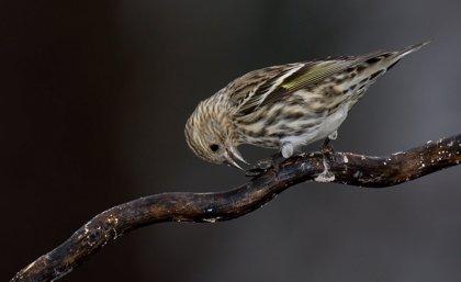 El cambio climático provoca invasiones masivas de aves del norte al sur