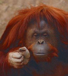 Sandra, orangutan del Zoológico de Buenos Aires