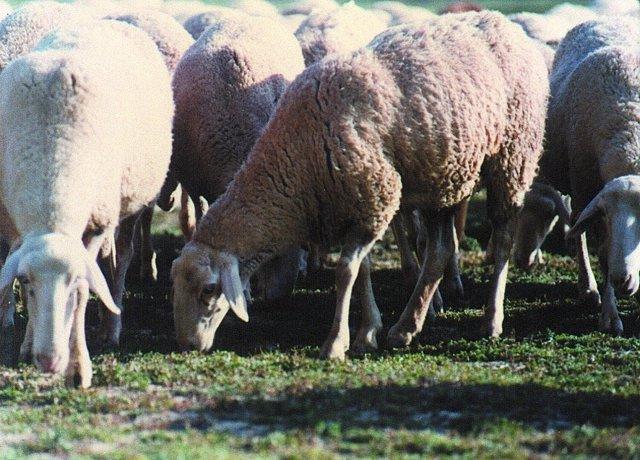 Imagen de unas ovejas pastando