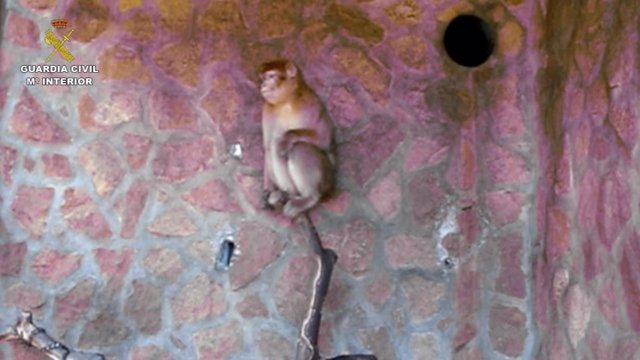 El macaco de berberia recuperado por la Guardia Civil