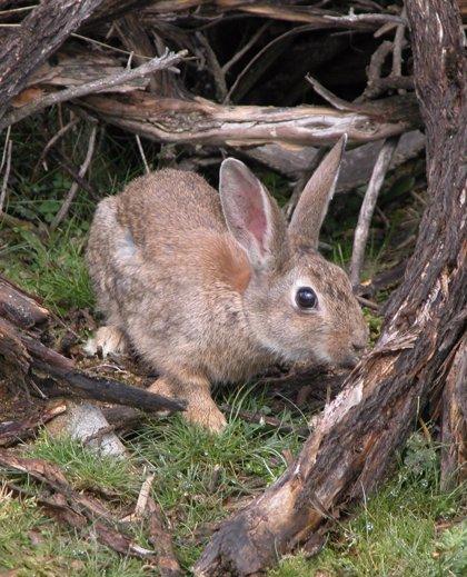 Un estudio dice que una bacteria del conejo causa fallos reproductivos