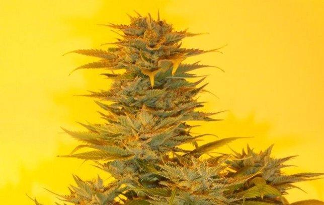 La planta de marihuana Mujica Gold, en honor al expresidente uruguayo