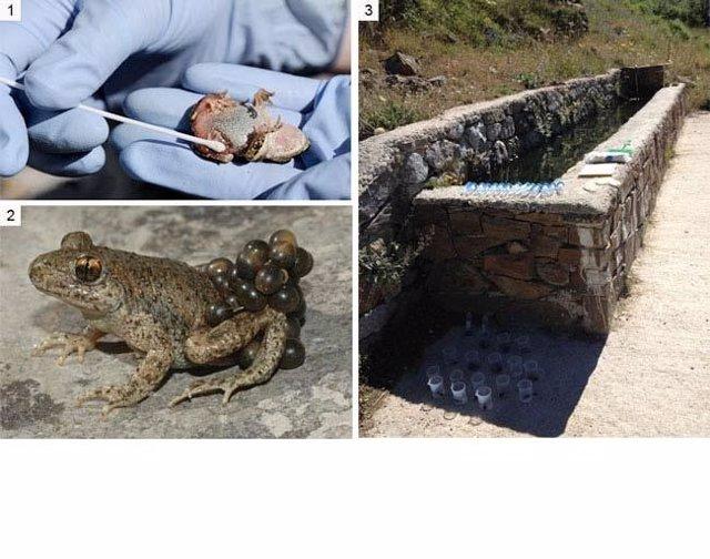 Ranas afectadas por Quitridiomicosis