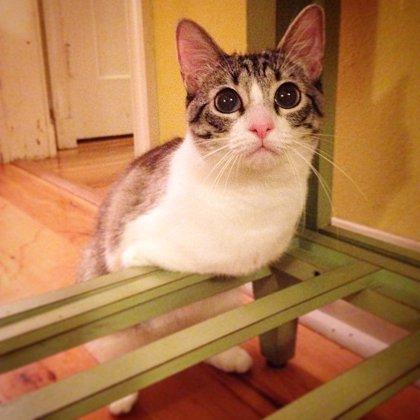 Roux es una preciosa gata de dos piernas que camina como un conejo