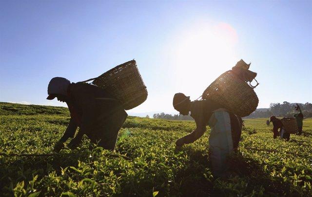 Campesinos recogiendo la cosecha en una plantación de Kenia