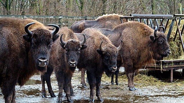 Bisontes europeos.