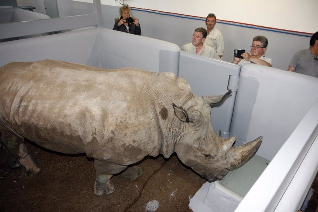 Nuevo rinoceronte en Cabárceno