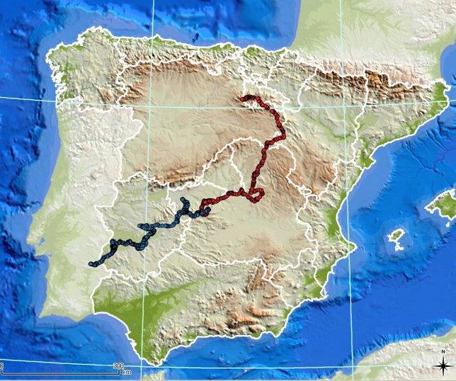 Kahn y Kentaro, dos de los linces ibéricos liberados en Castilla-La Mancha, han