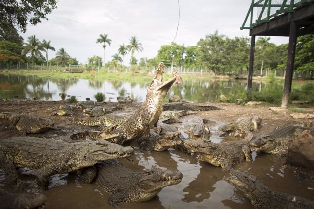 Cuban crocodiles react as a veterinarian hangs a bait over them in a hatchery at