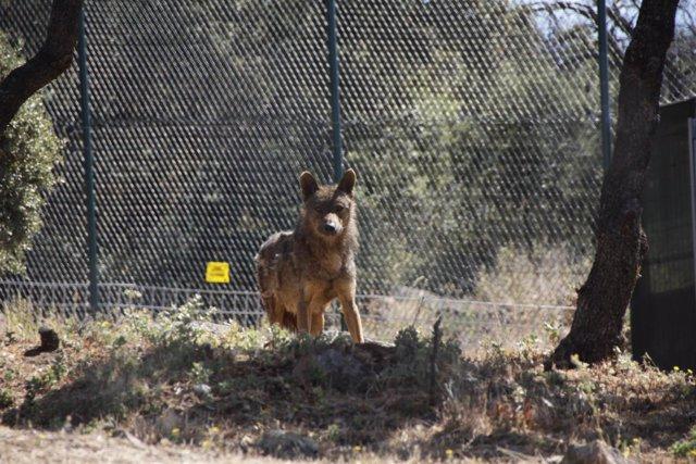 Lobo, animal, Borril, naturaleza,