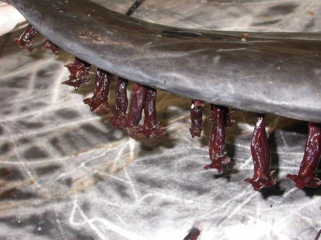 Percebes viven en aletas de cetáceos