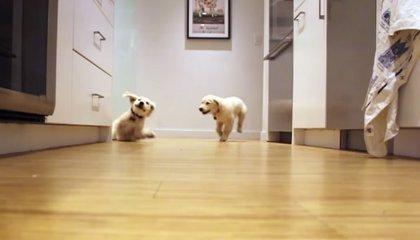 Adorables cachorros en una carrera en time-lapse hasta que son adultos