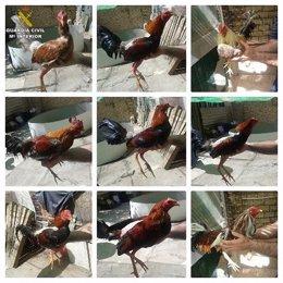 Cinco detenidos por el robo de gallos de pelea