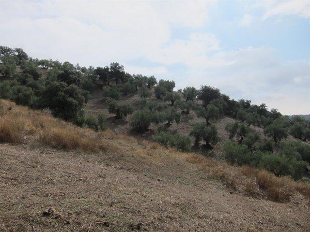 Olivar de sierra, sobre suelos en pendiente