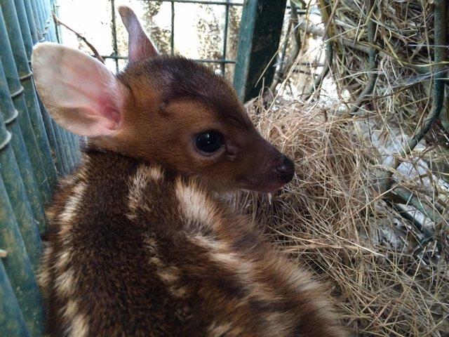 El nuevo cervatillo asiático, 'bambi' del Zoo de Oviedo