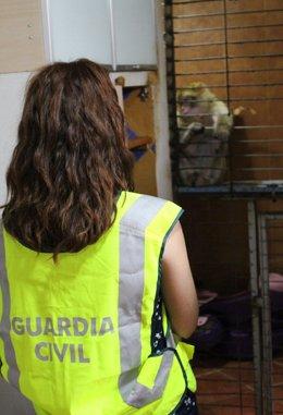 La Guardia Civil interviene un macaco en Constantí