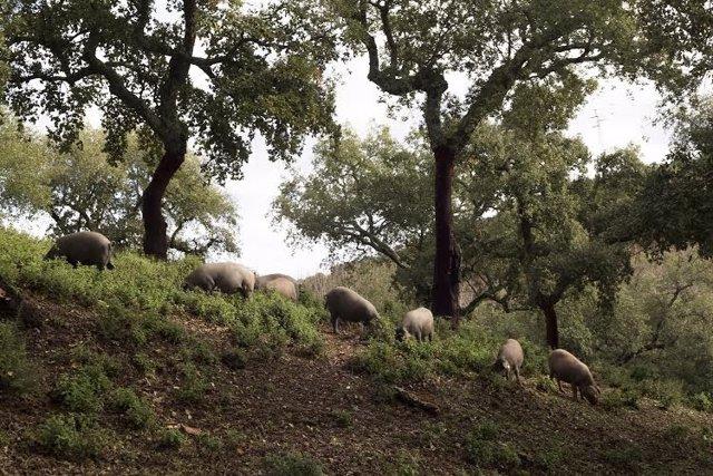 Cerdos en Jabugo (Huelva).