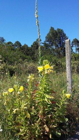 Onagra, una planta invasora
