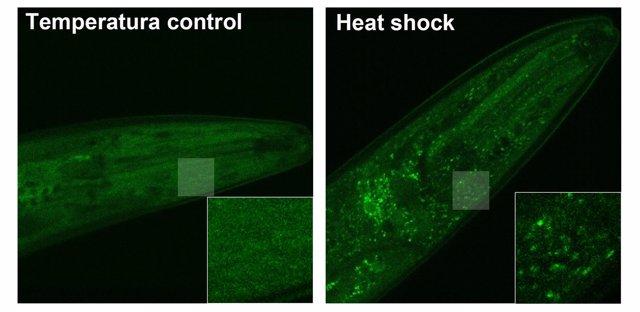 """Proteína LSM-1 (en verde) se acumula formando """"gránulos de estrés"""" citoplasmátic"""