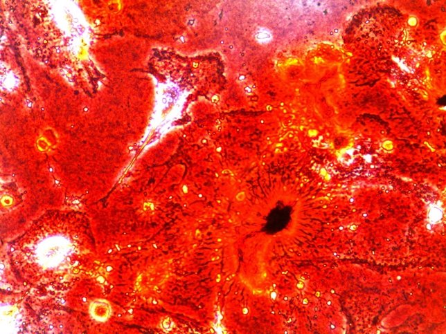 Reprograman el envejecimiento de células humanas y de ratones