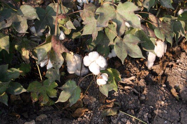 Plantación de algodón en Andalucía