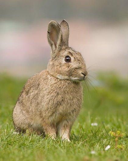 Un estudio muestra que los conejos no son resistentes a la infección por priones