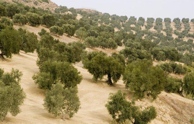 Viñedos de olivos
