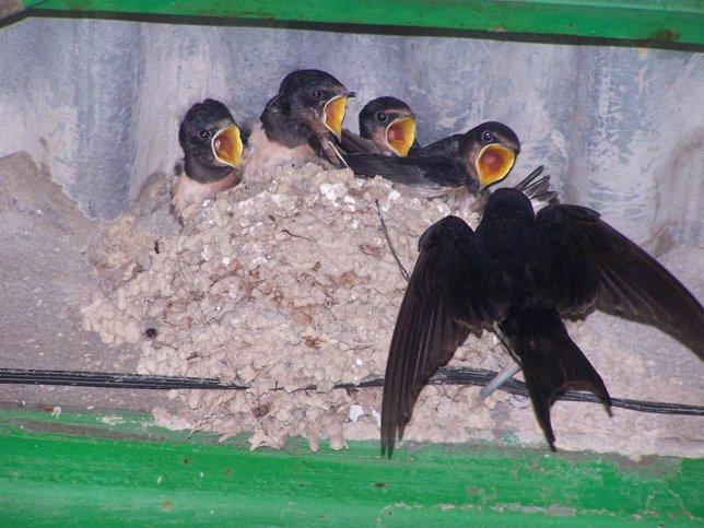 Golondrina alimentando a sus crías