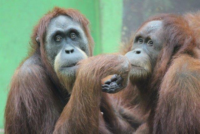 Orangután zoo Santillana