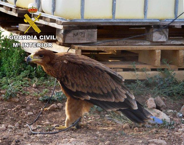 Águila Recuoperada