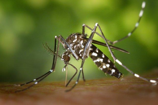 Mosquito del virus de Chikungunya