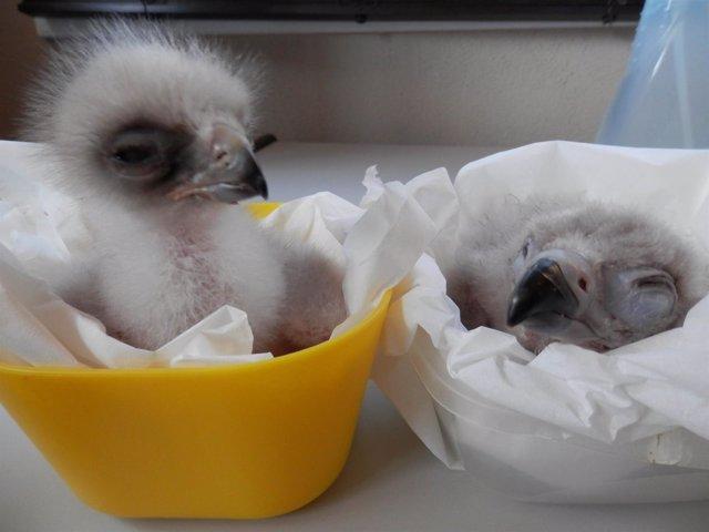 Pollos recién nacidos en GREFA de águila real (izquierda) y buitre negro