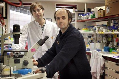 Descubren cómo cultivar células madre más seguras