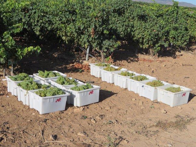 Vendimia uva blanca