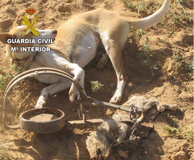 Perro atrapado en un cepo en una finca de Zamora