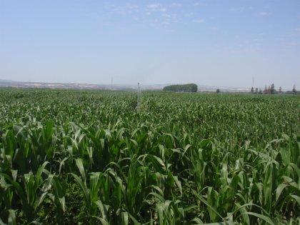 La lucha contra el maíz transgénico revive en México